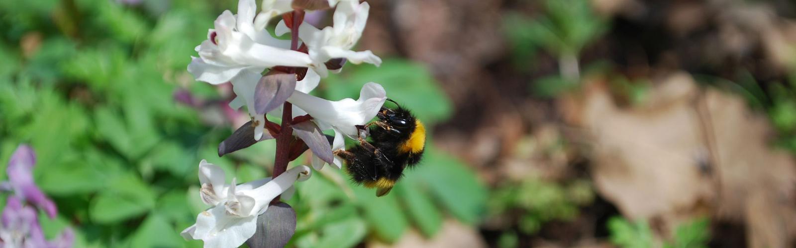 dongó tavasszal virágon